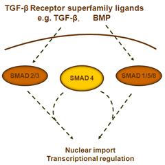 TGF signaling diagram